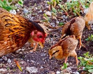 feral Key West chickens